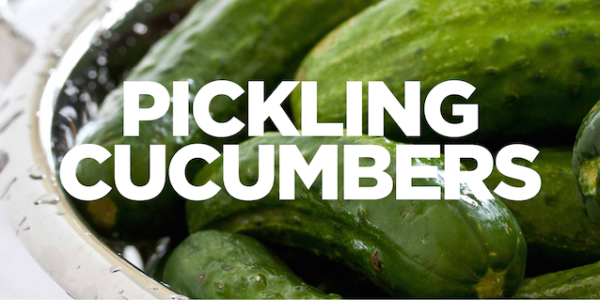 Pickling_Cucumbers_WEB (smaller)